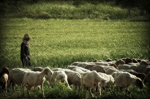 Modern-Israeli-shepherd-Bashir-Sheikh-Yousef-2011