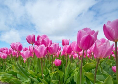 bunch-of-pink-tulips-589697